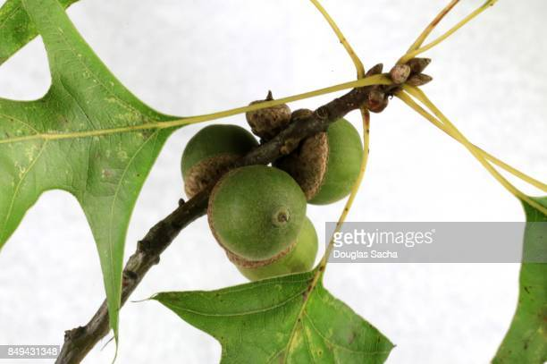 Close-up of a Red Oak branch with acorns attached (quercus rubra)