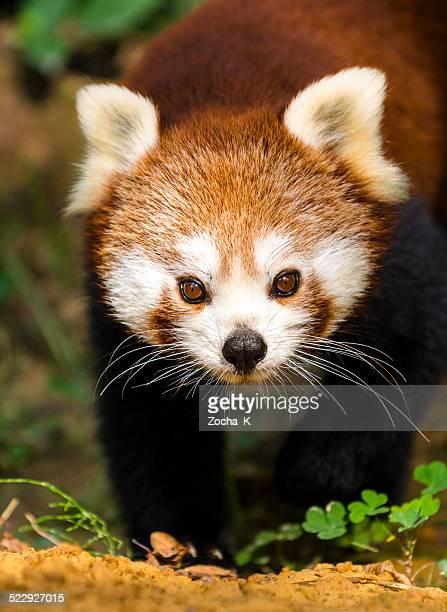Close-up of a red panda looking at the camera