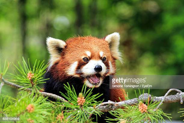 close-up of a red panda looking away - red panda stock pictures, royalty-free photos & images