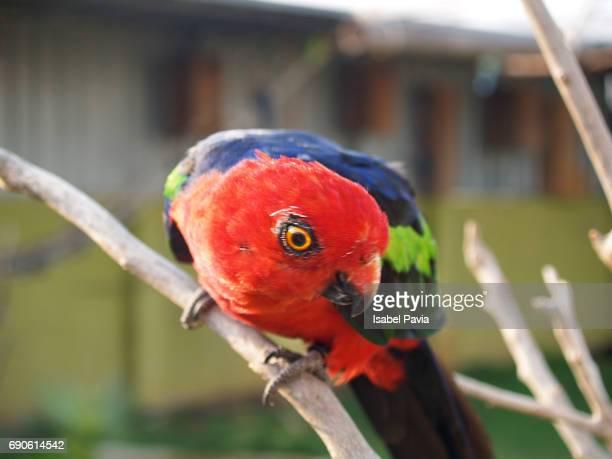 close-up of a red parrot - peniscola photos et images de collection