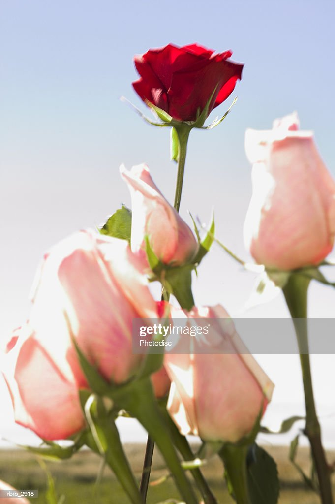 Close-up of a red rose amongst pink roses : Foto de stock