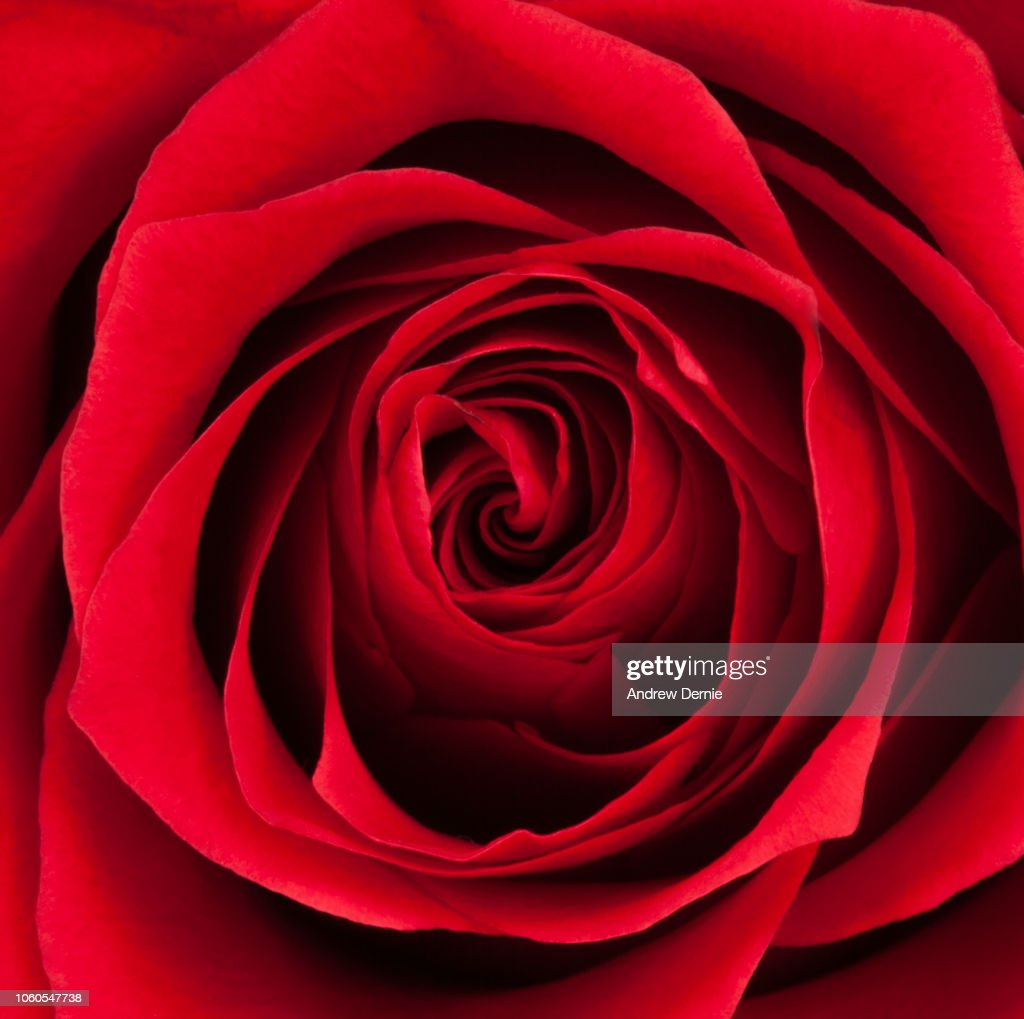 Close-up of a red rose, full frame : Stock Photo