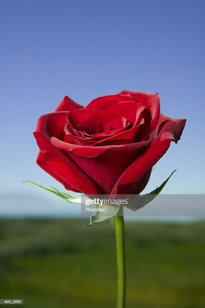 Close-up of a red rose : Foto de stock