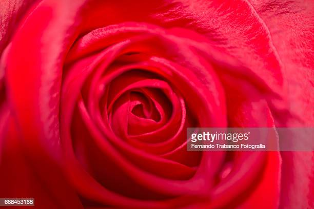 Close-up of a red rosebud with good perfume