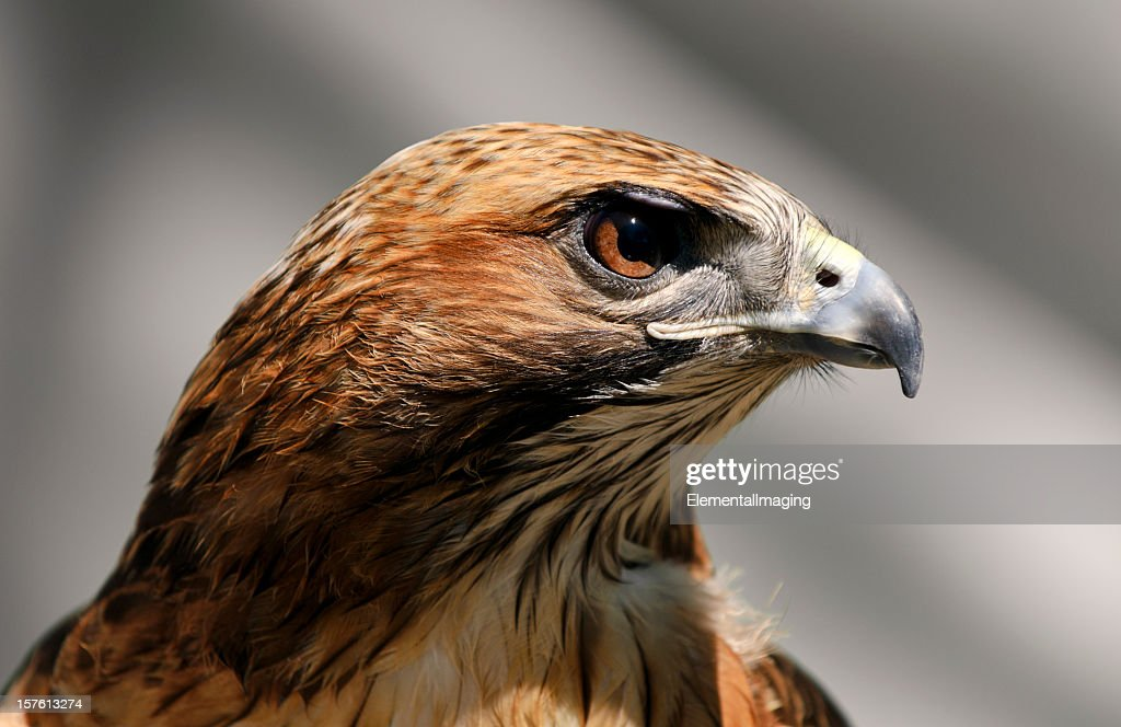 Close-up of a Red Tailed Hawk Buteo Jamaicensis : Stock Photo