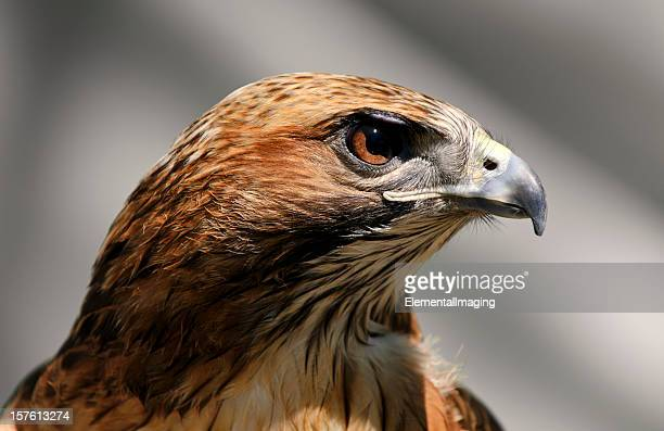 close-up of a red tailed hawk buteo jamaicensis - hawk bird stock photos and pictures