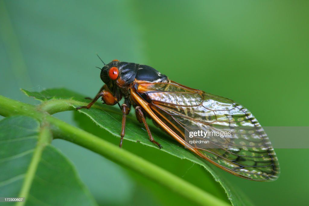 Close-up of a red-eyed Cicada resting on a green leaf : Stock Photo