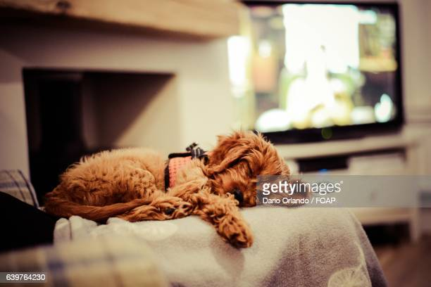 close-up of a resting dog - file:the_wyoming,_orlando,_fl.jpg stock pictures, royalty-free photos & images