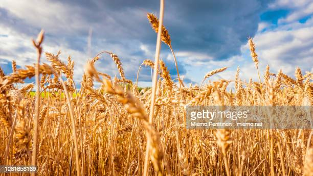 close-up of a ripe wheat field in autumn time - lahti finland stockfoto's en -beelden