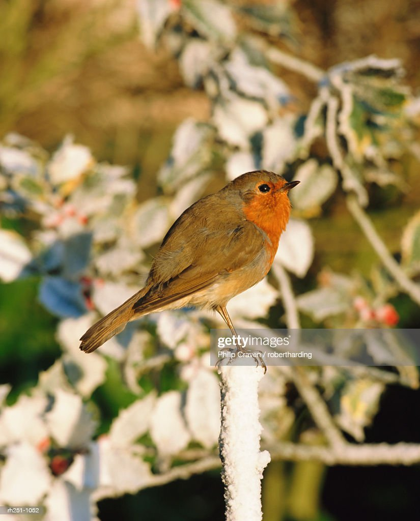 Close-up of a robin  (Erithacus rubecula) perching on a post : Foto de stock