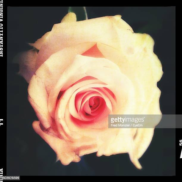 Close-up of a rose against blurred background