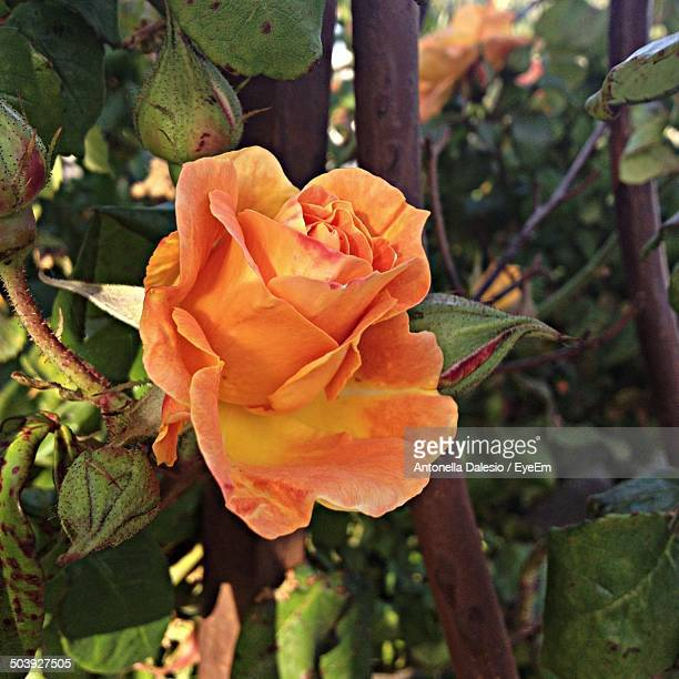 close-up of a rose - antonella stock photos and pictures