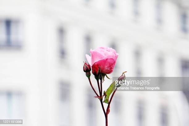 close-up of a rosebud in the city - rose colored stock pictures, royalty-free photos & images