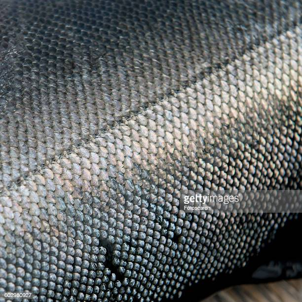 Close-up of a salmon fish