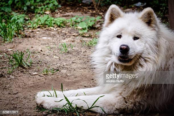 Closeup of a Samoyed dog breed looking at camera