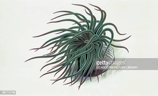 Closeup of a sea anemone