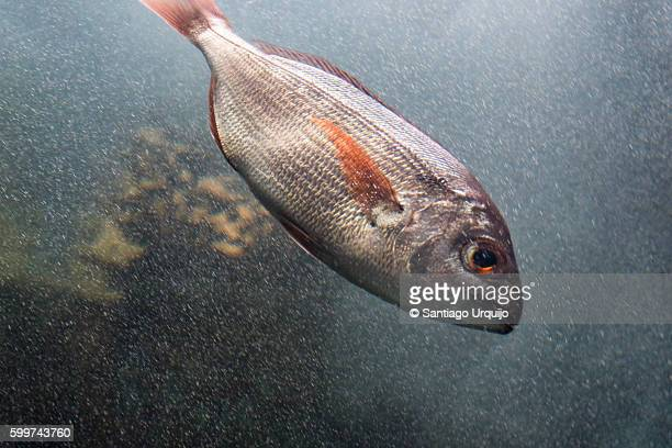 Close-up of a sea bream