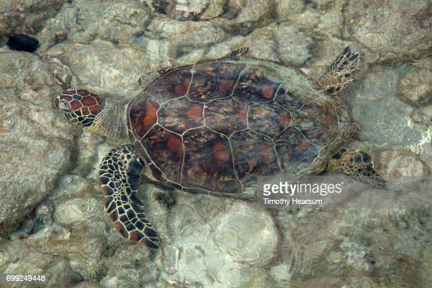 close-up of a sea turtle in shallow water - timothy hearsum stock pictures, royalty-free photos & images
