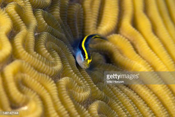 Closeup of a sharknose goby on a brain coral head Gobiosoma evelynae Sea Aquarium Reef Curacao Netherlands Antilles