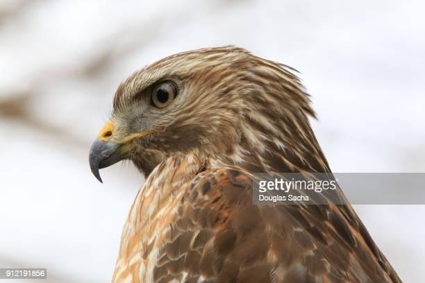 Close-up of a Sharp-shinned Hawk (Accipiter striatus)