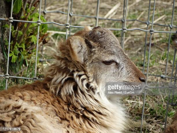 close-up of a sheep on field - alex reed stock pictures, royalty-free photos & images