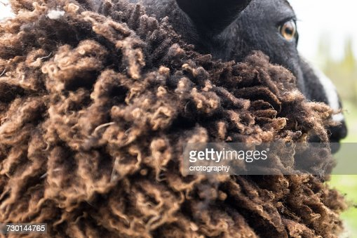 Close-up of a sheep with thick wool coat, Holland