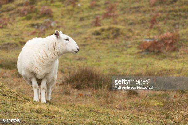 Close-Up of A single North Country Cheviot sheep looking away on a Scotland Hill