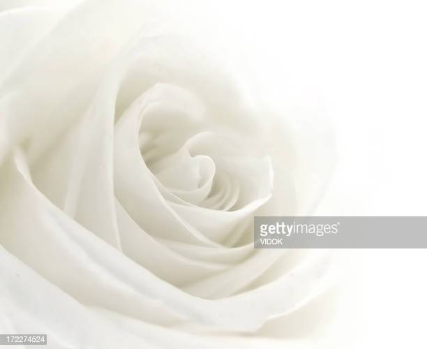 a close-up of a single white rose - rose stock pictures, royalty-free photos & images