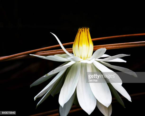 close-up of a single white water lily blossom on black background in the everglades, florida - zen rial stock photos and pictures