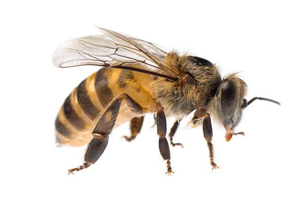 Close Up Of A Single Yellow And Black Honey Bee