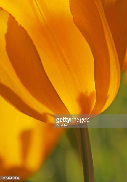Close-up of a single yellow tulip showing stem and lower parts of petals