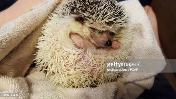 Close-up of a sleeping hedgehog