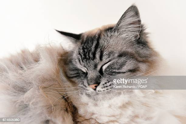 Close-up of a sleeping rag doll cat