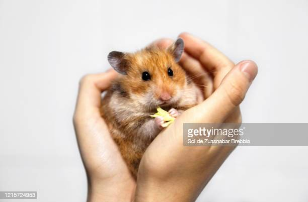 close-up of a small syrian hamster held in the hands of a child on a white background - hamster stock pictures, royalty-free photos & images