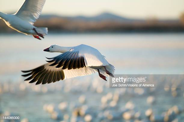 1 526 Bosque Del Apache National Wildlife Reserve Photos And Premium High Res Pictures Getty Images