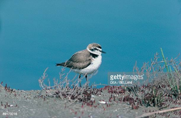 Close-up of a Snowy Plover perching near a pond