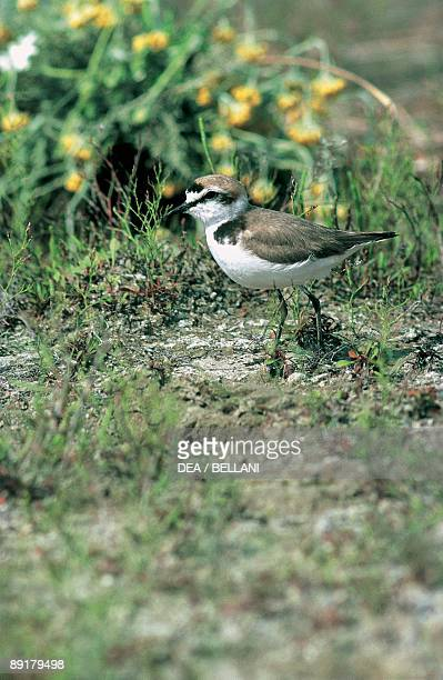 Close-up of a Snowy Plover