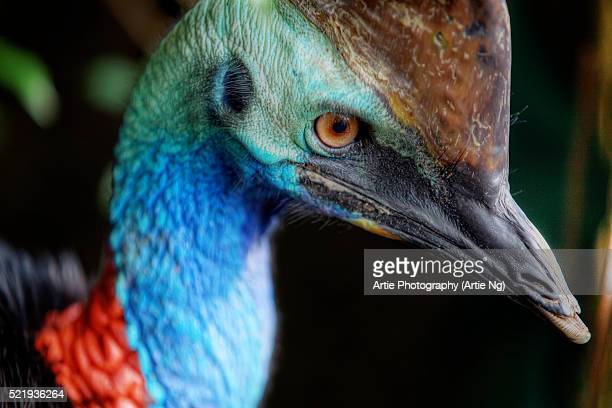 Close-Up Of a Southern Cassowary In Daintree, North Queensland, Australia