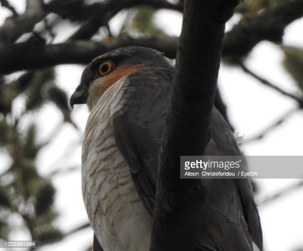 close-up of a sparrow hawk bird perching on branch - sparrow hawk stock pictures, royalty-free photos & images