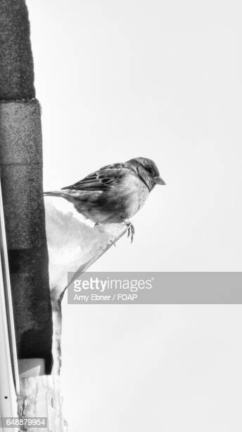 close-up of a sparrow perching - amy freeze stock pictures, royalty-free photos & images