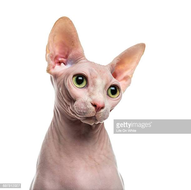 close-up of a sphynx - sphynx hairless cat stock photos and pictures