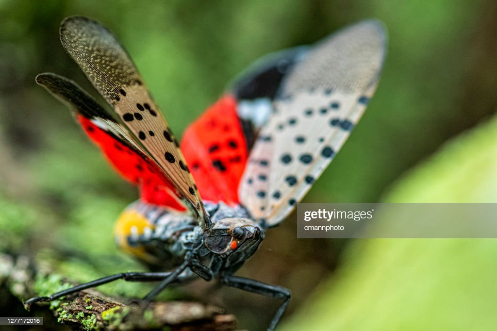 Close-up of a Spotted Lanternfly (Lycorma delicatula) crawling on a Maple tree trunk in Northeast Maryland : Stock Photo