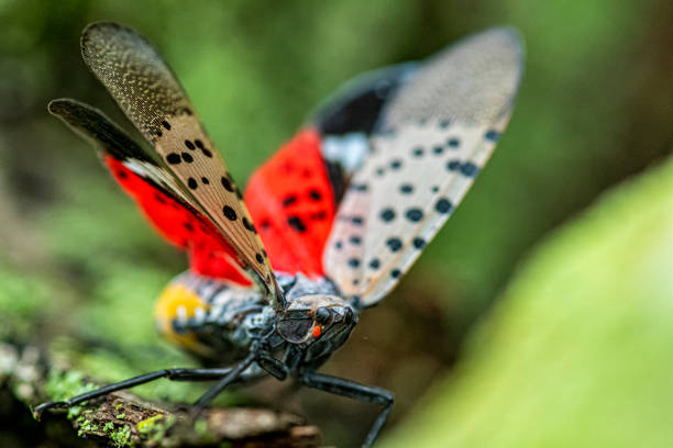 How to Kill and Prevent Spotted Lanternfly