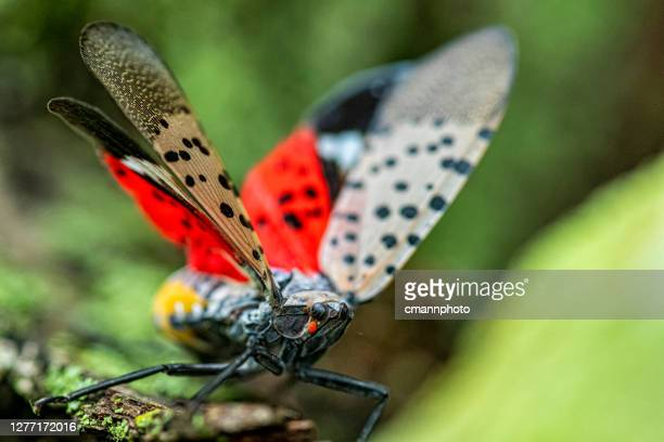 close-up of a spotted lanternfly (lycorma delicatula) crawling on a maple tree trunk in northeast maryland - exotic_species stock pictures, royalty-free photos & images