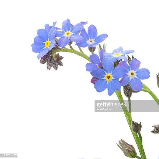 A close-up of a sprig of forget me nots on white