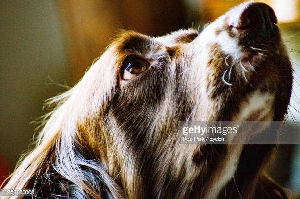 close-up of a springer spaniel - springer spaniel stock pictures, royalty-free photos & images