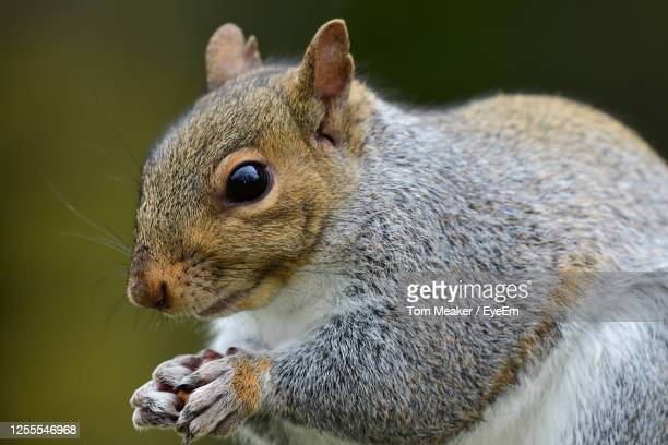 close-up of a squirrel eating a nut - taunton somerset stock pictures, royalty-free photos & images