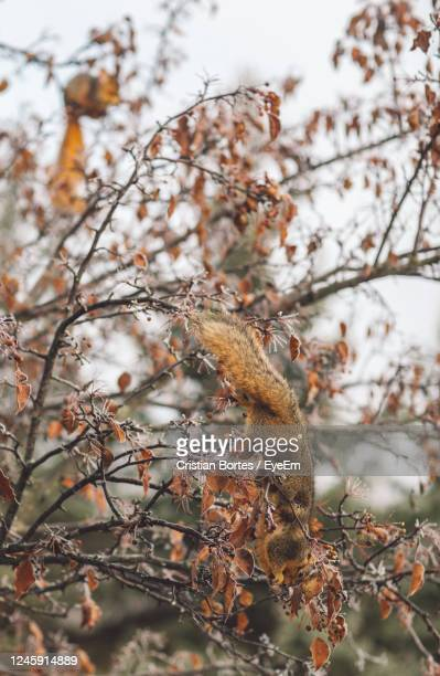 close-up of a squirrel in a tree in snow - bortes stock pictures, royalty-free photos & images