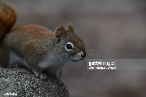 close-up of a squirrel - greg nadeau stock pictures, royalty-free photos & images