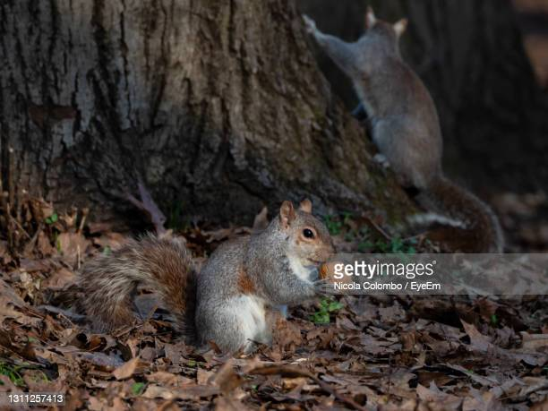 close-up of a squirrel with a nut - monza stock pictures, royalty-free photos & images